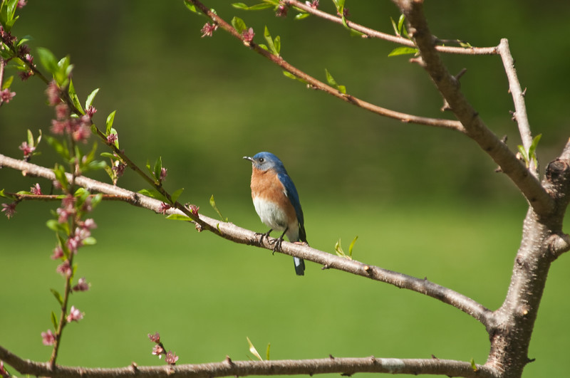 Bluebird in peach tree during bloom.