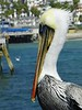 Regal Pelican