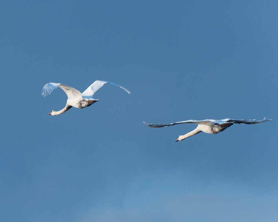 Mutted Swans in Flight