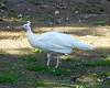 Santa Ana River Lakes white peafowl - 2