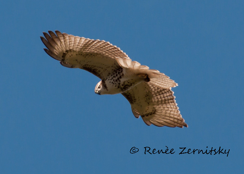 Broad Wing Hawk