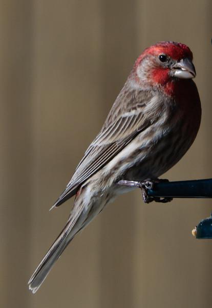 House Finch - Male