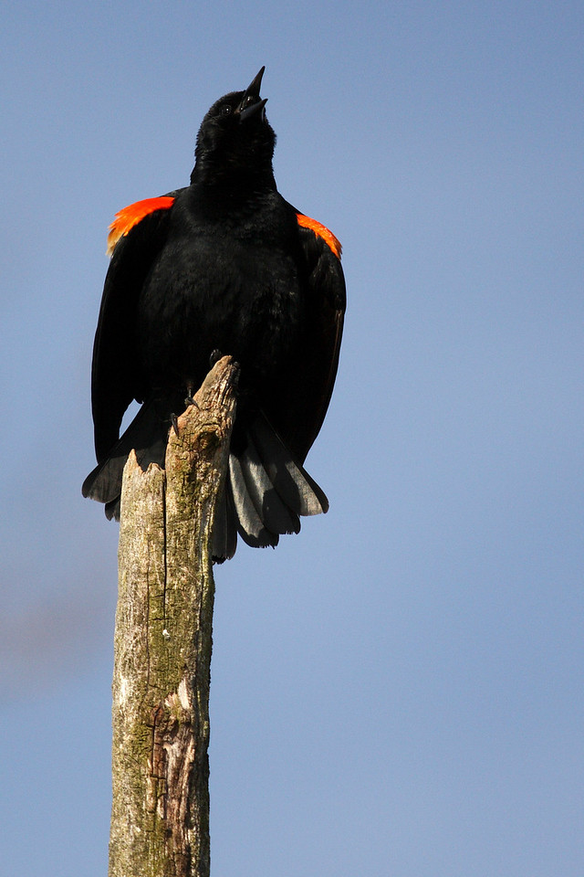 Red-winged Blackbird calling for his mate