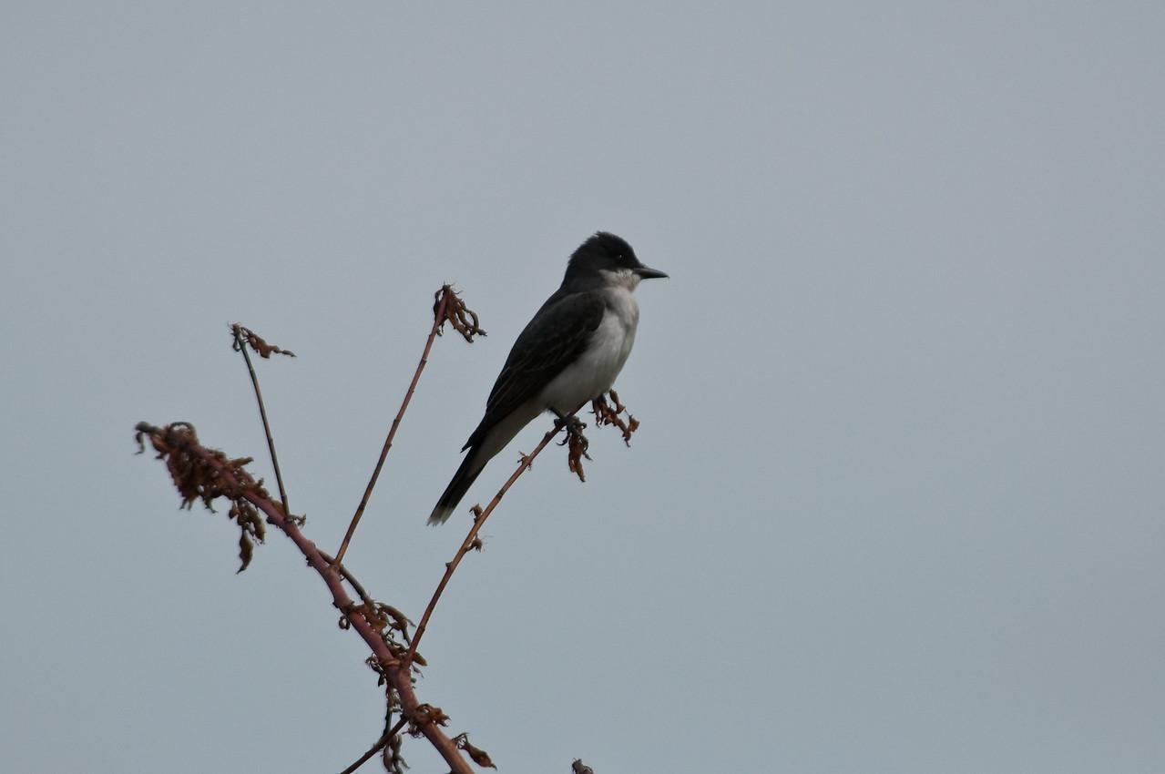 Eastern Kingbird, Bolton,MA