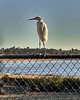 Egret at Santa Ana River Lakes - 1