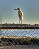 Egret at Santa Ana River Lakes - 1