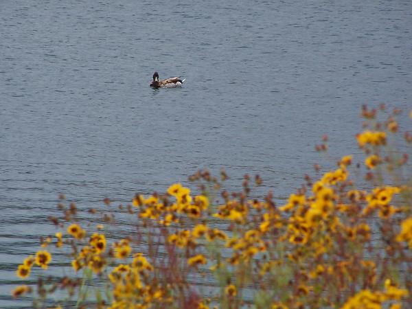 Duck - 7