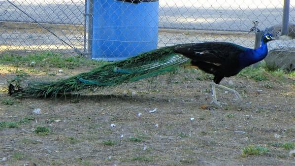 Santa Ana River Lakes Peacock