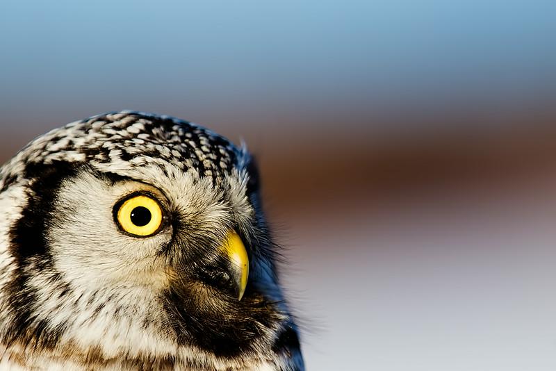 Northern Hawk Owl Portrait