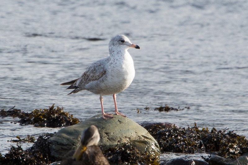 Ring Billed-gull Cape Broyle, NL