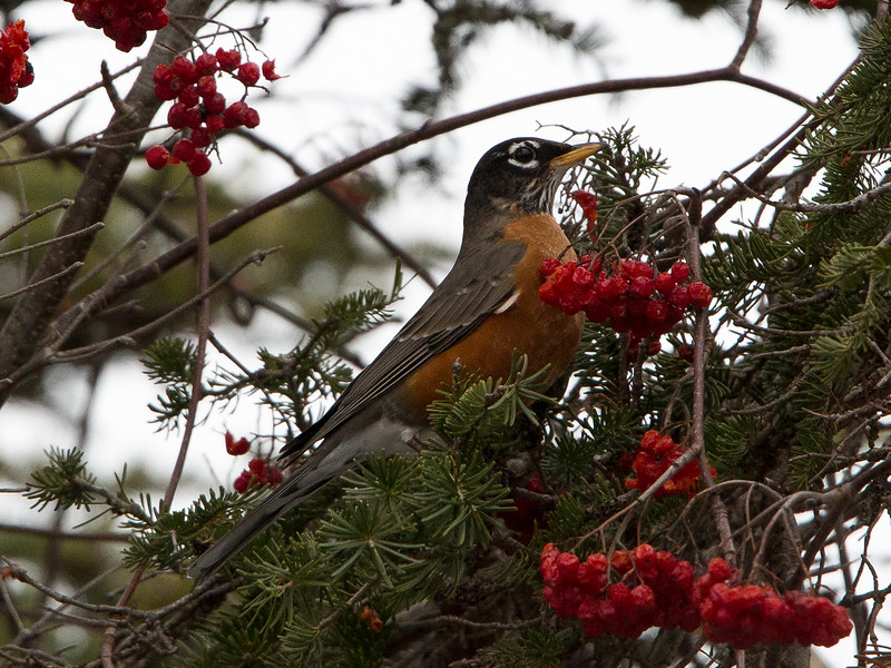 American Robin, Long Pond NL