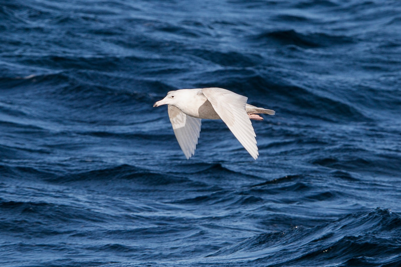 Glaucous Gull, Kelligrews, Conception Bay NL