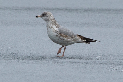 Ring-billed Gull, Bowring Park, St John's NL