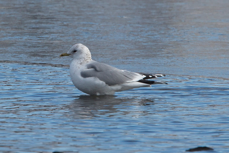 Common Gull, Quidi Vidi Lake, St John's NL
