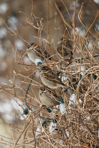 House Sparrow, Kelligrews, Conception Bay, NL