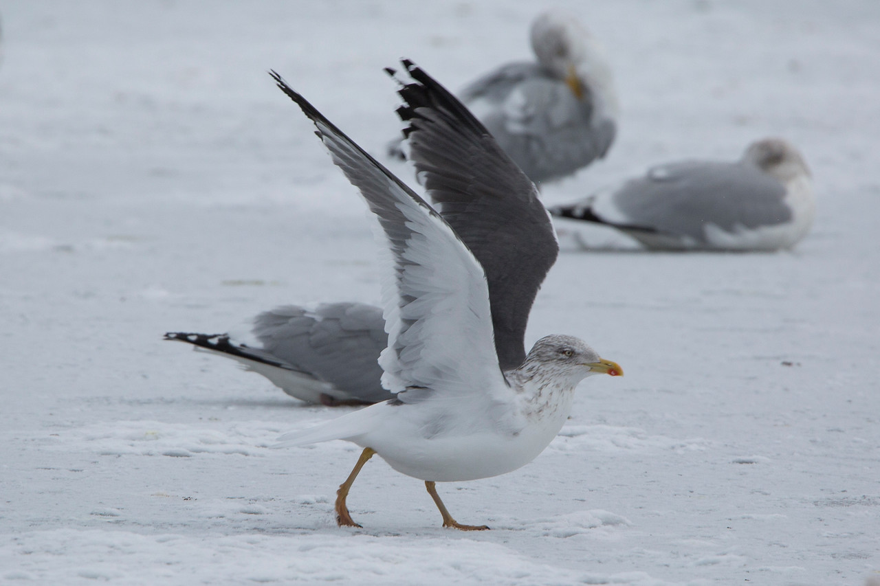 Lesser Black-backed Gull, Quidi Vidi Lake, St John's NL