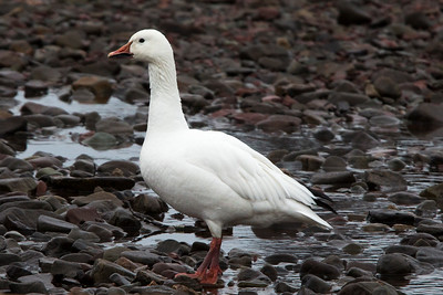 Snow Goose, Branch NL