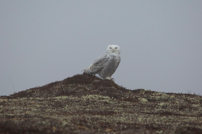 Snowy Owl, Cape Race Road, NL