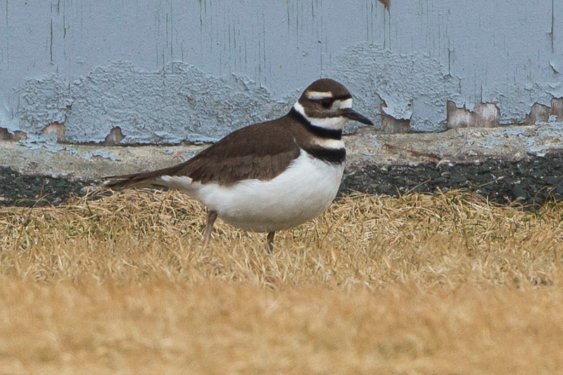 Killdeer, Portugal Cove South, NL