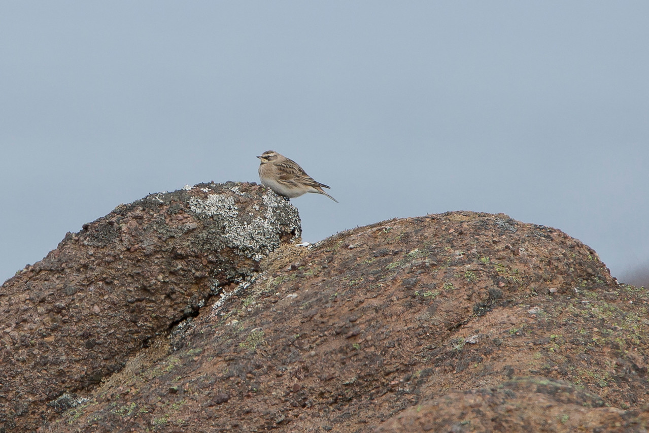 Horned Lark, Cape Spear, NL