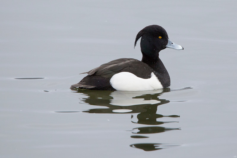 Tufted Duck, Quidi Vidi Lake, St John's NL