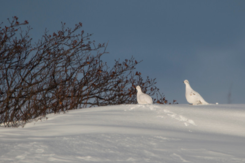 Willow Ptarmigan, Near Branch, Newfoundland