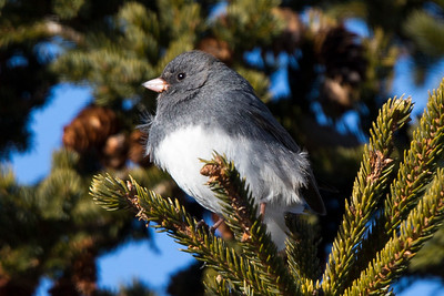 Dark-eyed Junco, Cuckolds Cove, St John's NL