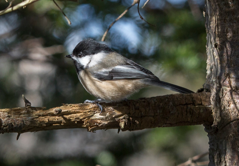 Black-capped Chickadee, Virginia River trail, St John's NL