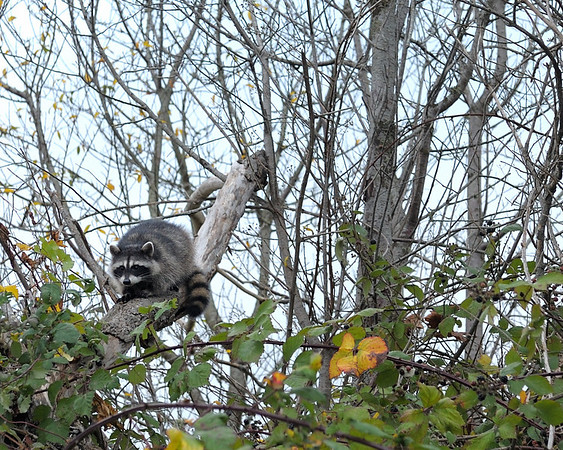 Raccoon at Eglon