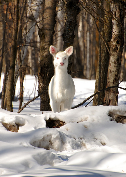 Albino Deer taken at Father Hennepin State Park.