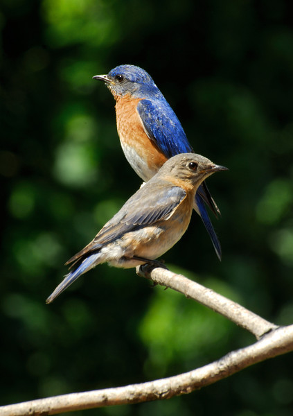 Mom & Dad Blue Birds