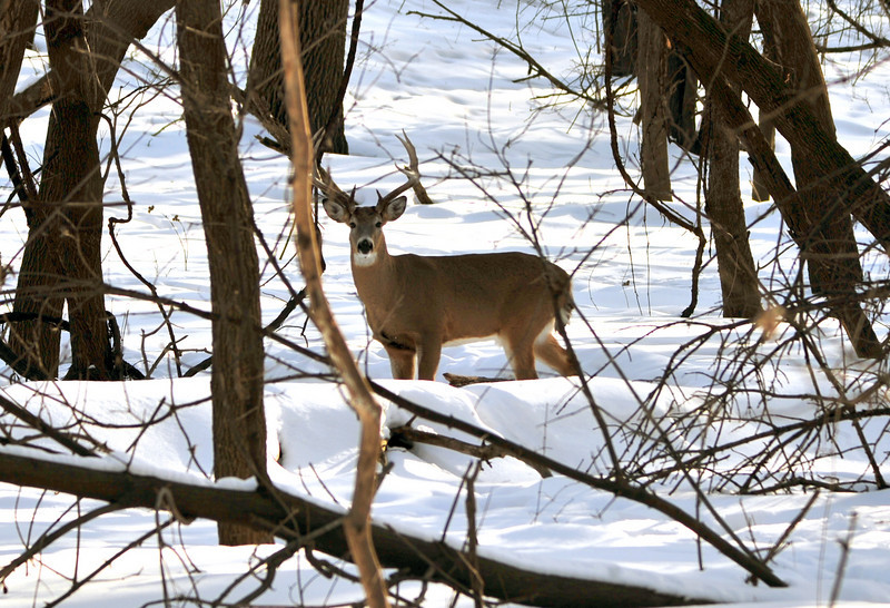 Nice buck at Ft. Snelling State Park