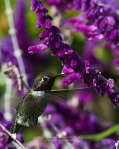 Hummingbird with Mexican Sage