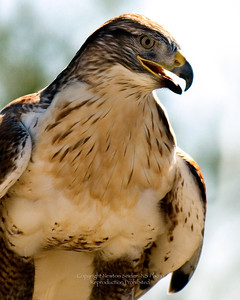 Arizona Redtail Hawk