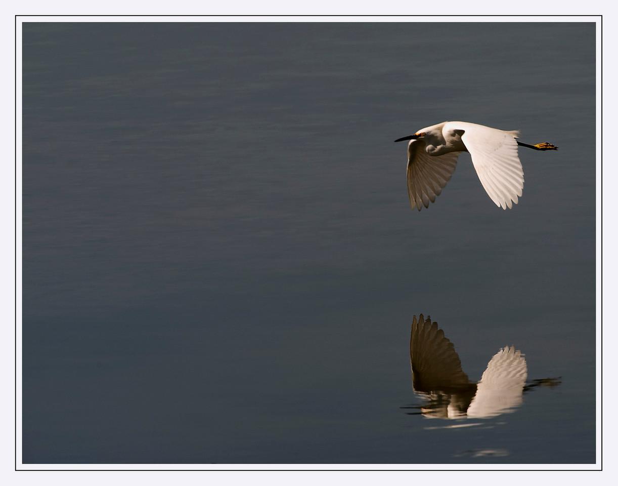 Snowy Egret in Flight<br /> Elkhorn Slough, California