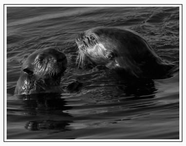 Otters, Mother and Child Moss Landing, California