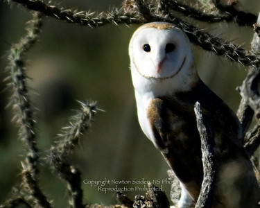 Arizona Barn Owl