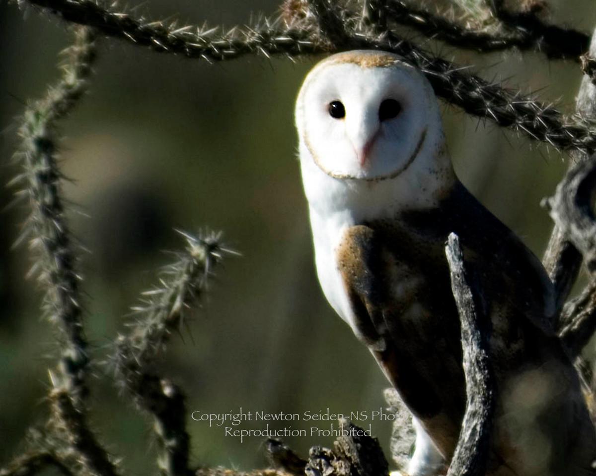 Arizona Barn Owl