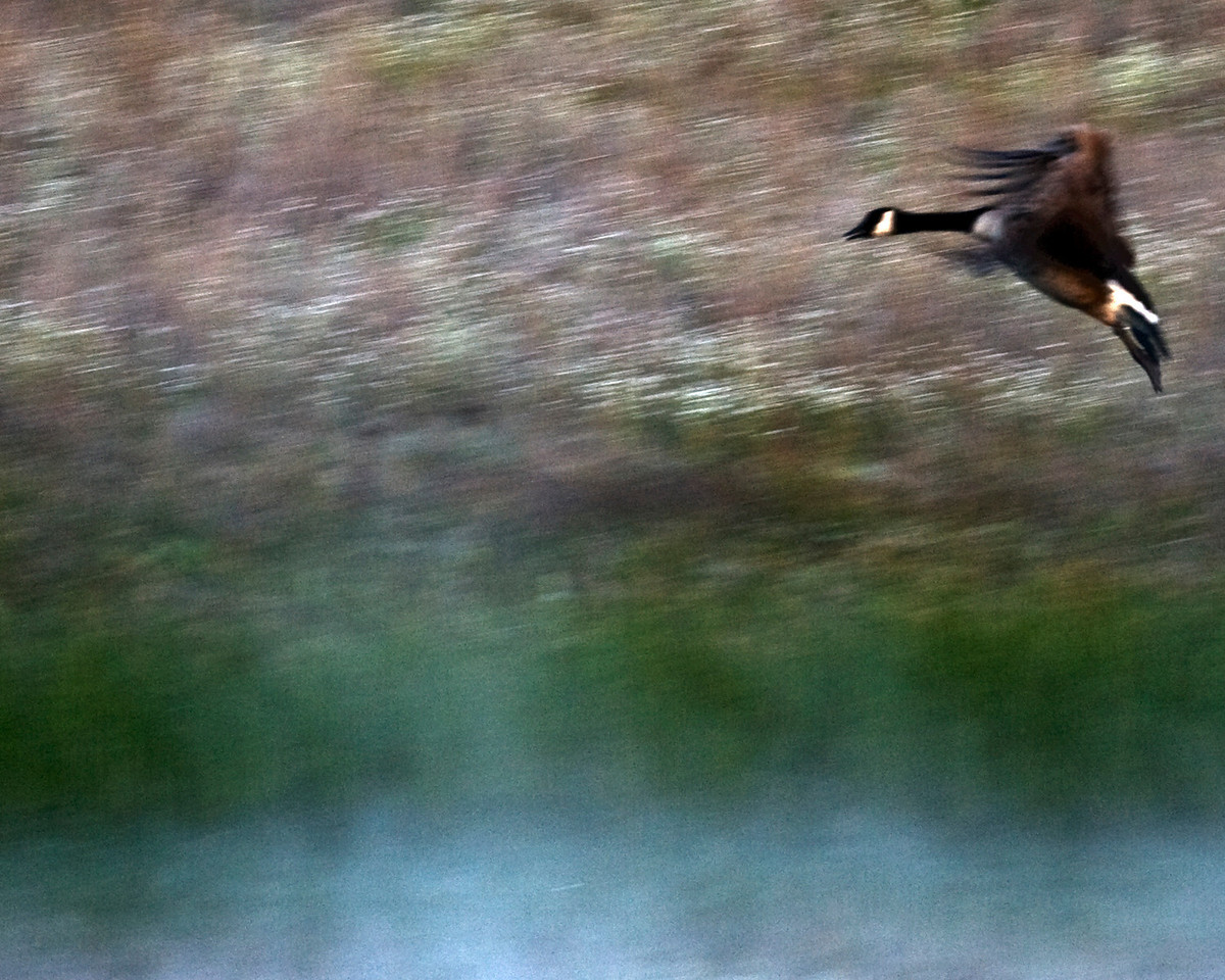 Canadian Geese in Flight<br /> Fresno, California