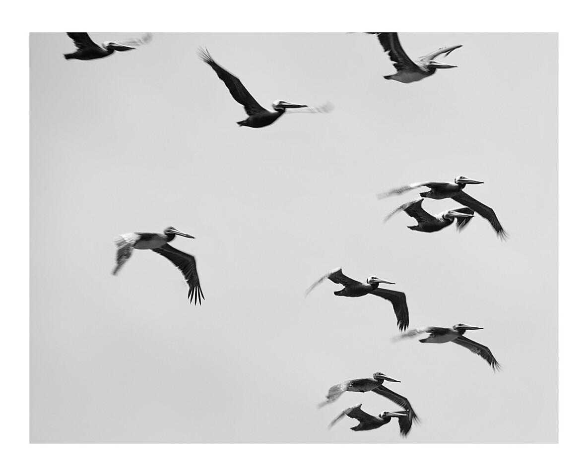 Pelicans<br /> Moss Landing, California