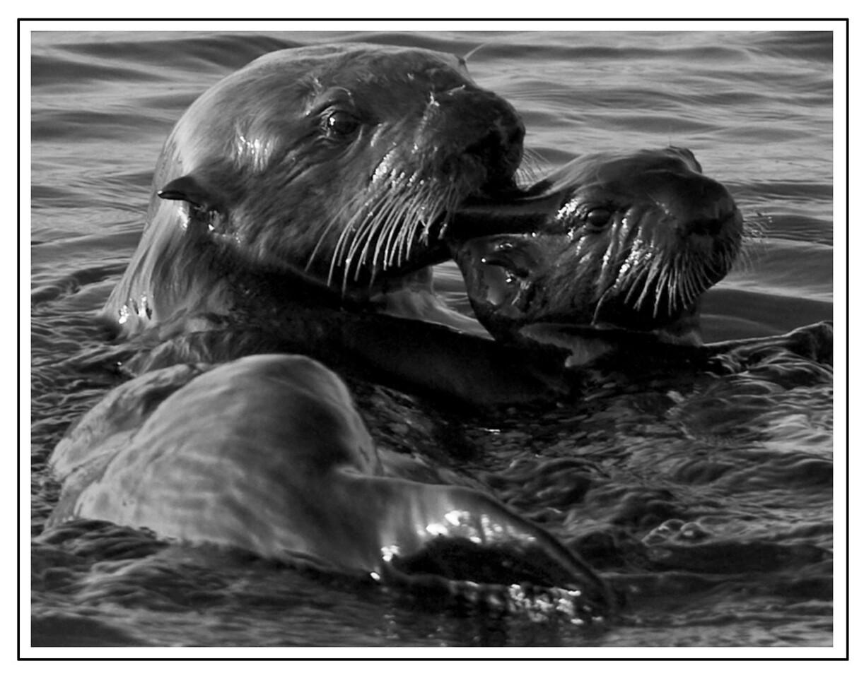 Ear Nibbling Otters<br /> Moss landing, California