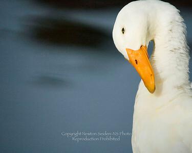 Coy Duck