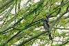 Yellow-Rumped Warbler (Audubon's) - March 2016 - On the grounds of the Arizona State Veterans Home - Phoenix