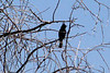PHAINOPEPLA - April 24 2016 - Corona de Tucson area