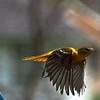 Female Baltimore Oriole taking flight