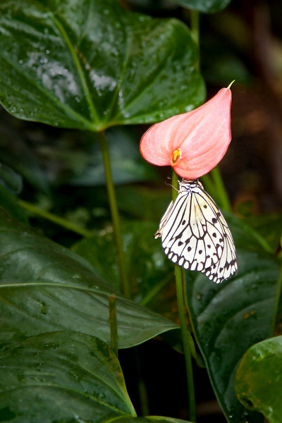Paper Kite Butterfly, (Idea leuconoe)<br /> Identified by Tad Yankoski, Entomologist.