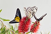 Helen's Birdwing, Paper Kite and Blue Clipper (Parthenos sylvia) on Calliandra haematocephala (powder puff tree) flower. <br /> Identified by Tad Yankoski, Entomologist.