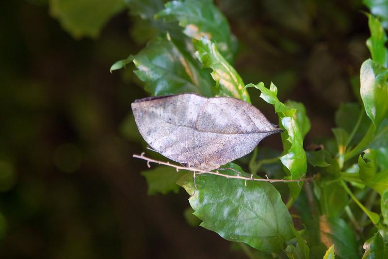 Indian Dead Leaf (Kallima paralekta) <br /> Identified by Tad Yankoski, Entomologist.