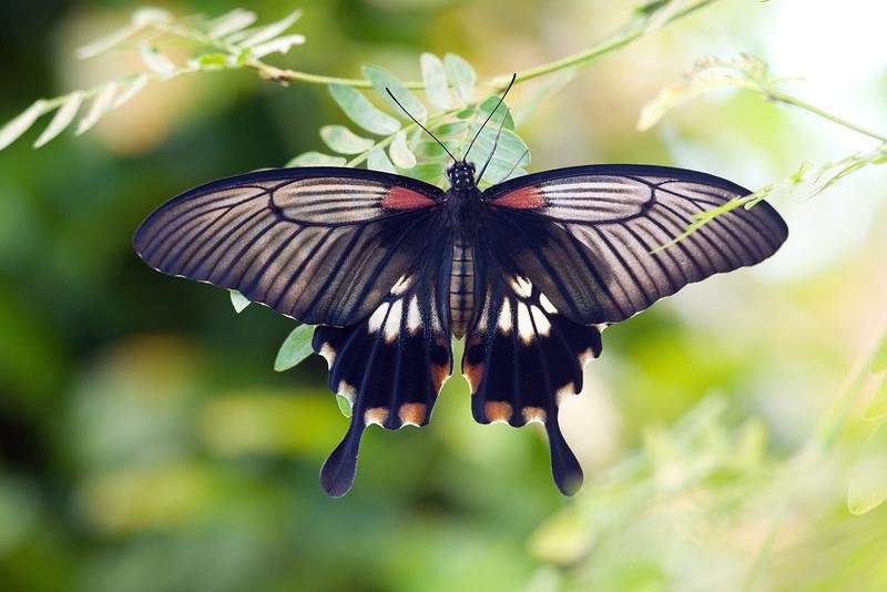 Great Mormon (Papilo memnon).  <br /> Identified by Tad Yankoski, Entomologist.