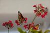 Paper Kite Butterfly, (Idea leuconoe)<br /> Identified by Tad Yankoski, Entomologist.